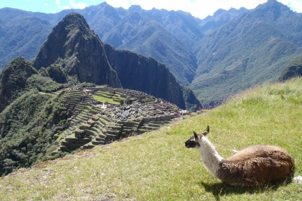Una llama observando el Machu Picchu