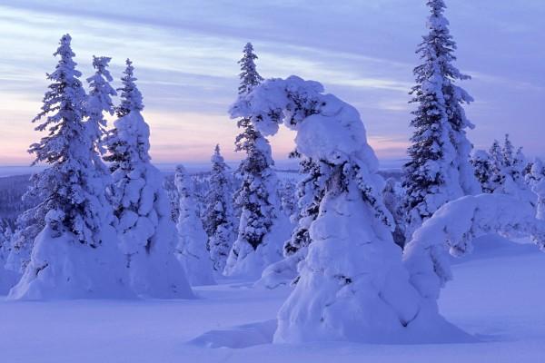 Árboles inclinados por el peso de la nieve