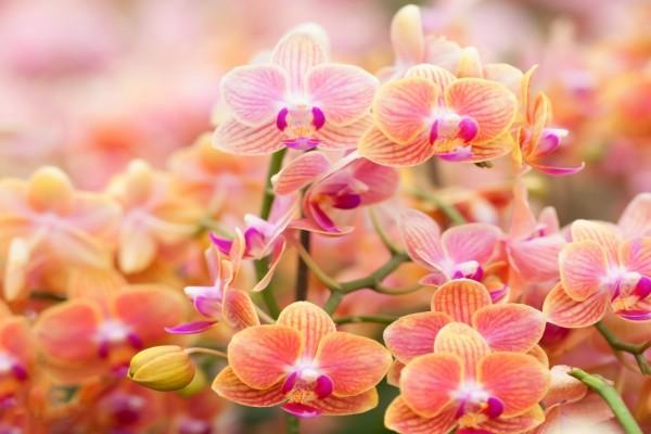 Extraordinarias y aromáticas orquídeas