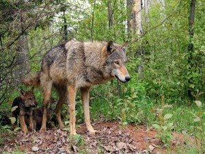 Una loba con sus cachorros caminando entre los árboles del bosque