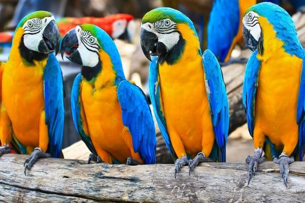Vistosos guacamayos de color azul y amarillo
