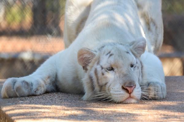 Un hermoso tigre blanco