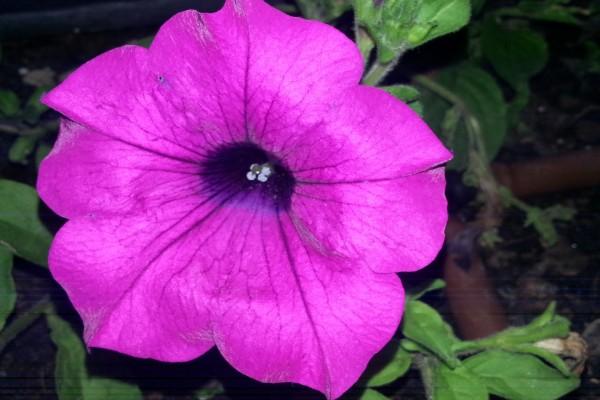 Una gran flor fucsia con forma de campana
