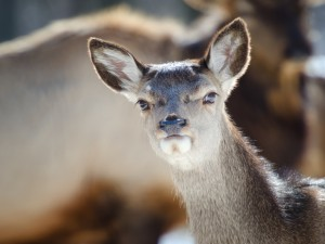 Cabeza de un joven ciervo