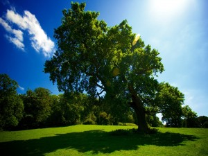 Postal: Un gran árbol y su sombra