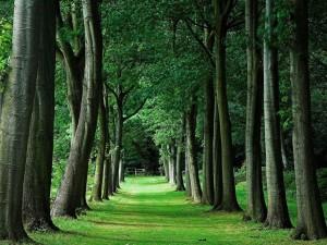 Postal: Dos filas de árboles sobre la verde hierba