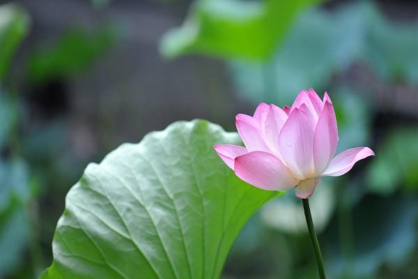 Preciosa flor de loto junto a una gran hoja verde