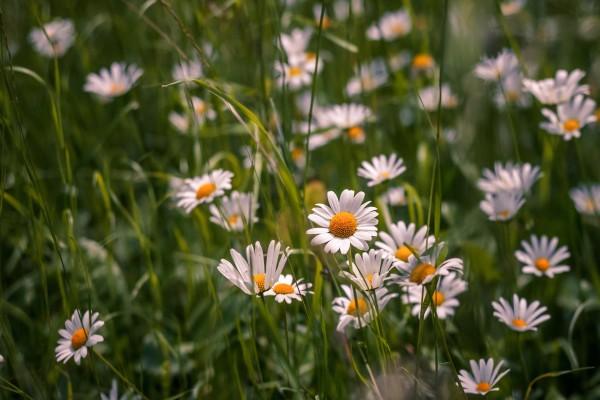 Espléndidas margaritas entre la hierba