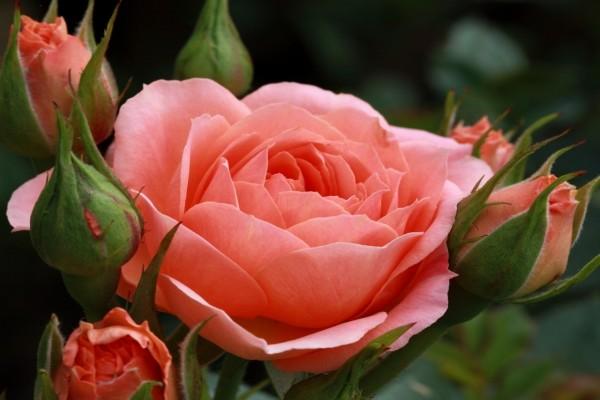 Extraordinaria rosa y pimpollos