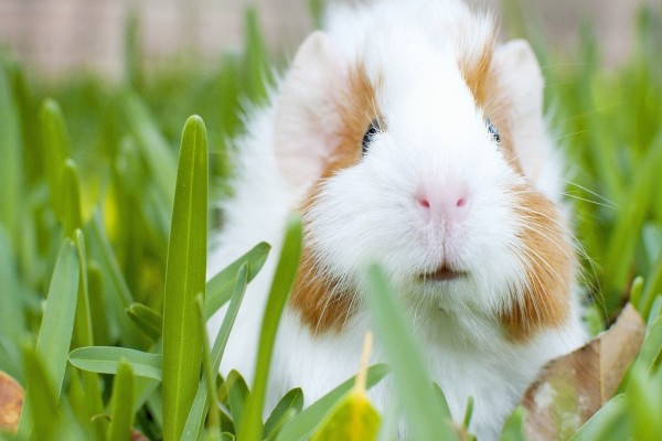 Hermoso conejillo de indias en la hierba
