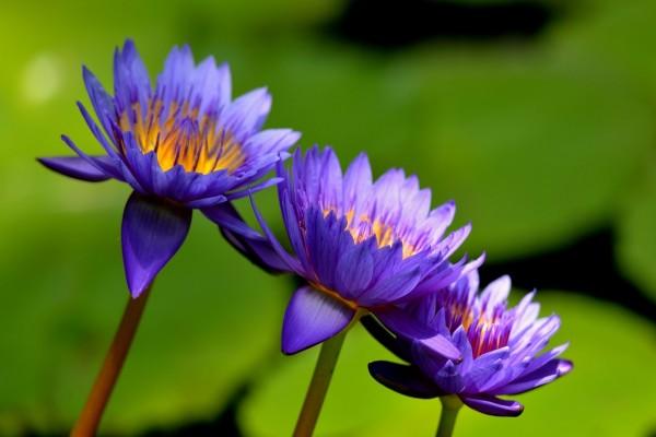 Tres bellas flores color púrpura