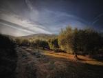 Un campo de olivos al atardecer