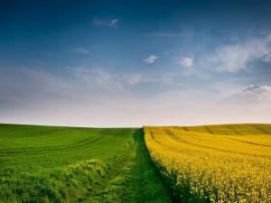 Postal: Campo verde junto a un campo amarillo