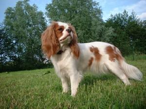 """Postal: Un curioso y atractivo perro """"Cavalier King Charles Spaniel"""""""