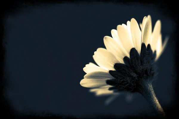 Una bella margarita en un fondo negro