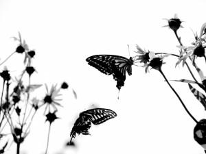 Imagen en blanco y negro de dos mariposas entre las flores
