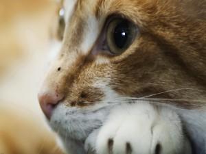 Postal: Pequeña mancha negra en la nariz del gato
