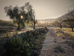 El sol iluminando los olivos