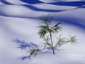 Postal: Pino creciendo en la nieve