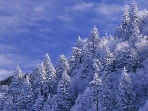 Cielo azul sobre los pinos cubiertos de nieve