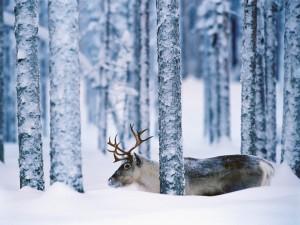 Postal: Un reno entre los árboles