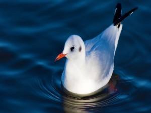 Postal: Una jovial ave blanca en el agua