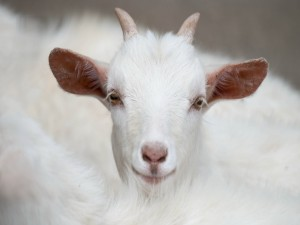 Una cabra te mira