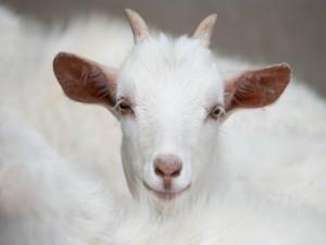 Postal: Una cabra te mira
