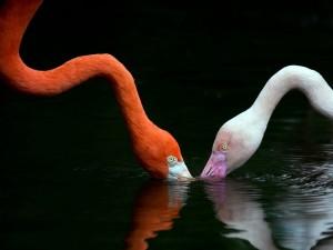 Postal: Flamencos tomando agua