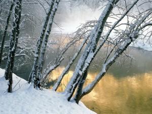 Postal: Árboles cubiertos de nieve en la orilla del río