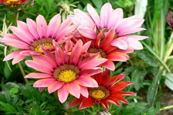 Hermosas flores de un bonito color rosa
