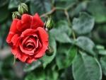 Una rosa y pimpollos en el rosal