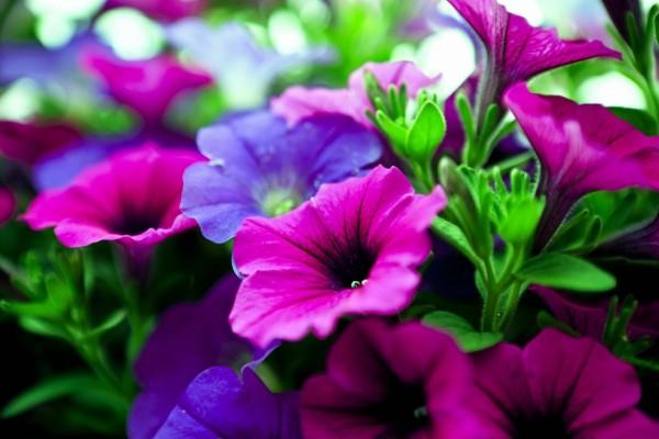Petunias fucsias y lilas