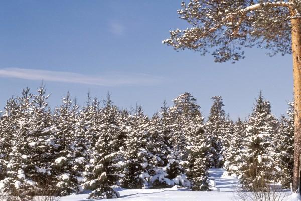 Un pinar cubierto de nieve