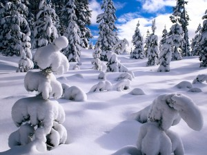 Postal: Pinos vencidos por la gran cantidad de nieve en sus ramas
