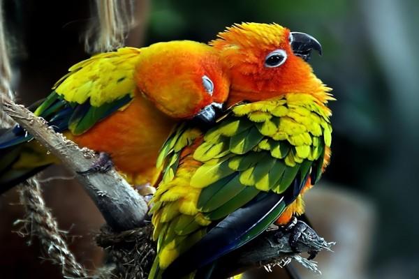 Abrazo entre dos coloridos loros