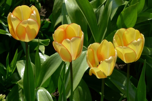 Vistosos tulipanes amarillos con el borde de los pétalos color naranja