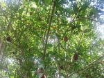 Gran árbol con frutos maduros
