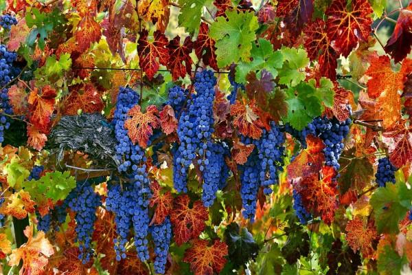 Uvas en la planta en verano