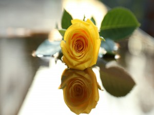 Una bella rosa amarilla reflejada en la mesa