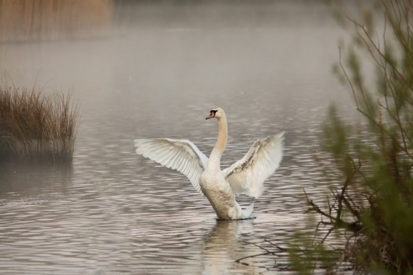 Cisne aleteando en el agua