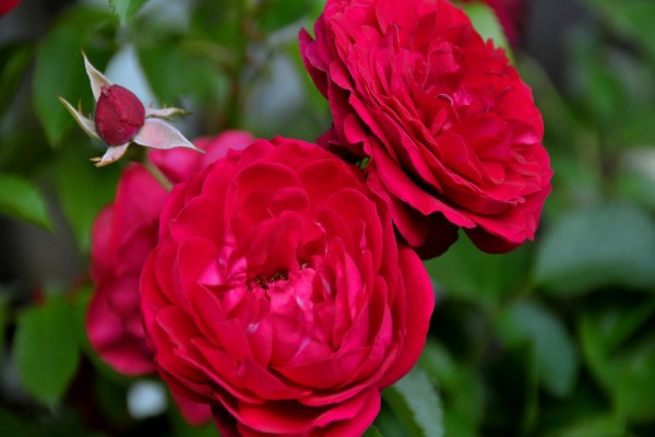 Delicadas rosas rojas y un pimpollo