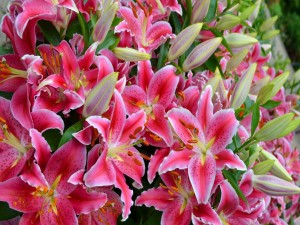 Un conjunto de bellos y hermosos lilium oriental