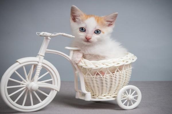 Gato en la cesta de un triciclo