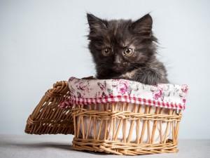 Gatito negro asustado dentro de un canasto