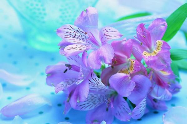 Astromelias de color púrpura