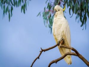 Gran cacatúa en una rama