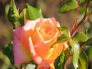 Postal: Espléndida rosa en una rama con hojas verdes