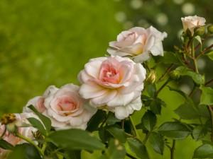 Elegantes rosas en una planta