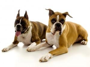 Dos grandes perros posan para una fotografía
